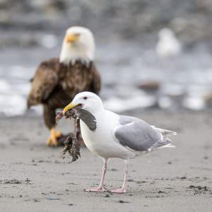 Seagull and eagle