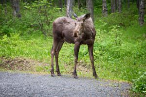 Moose in the campground