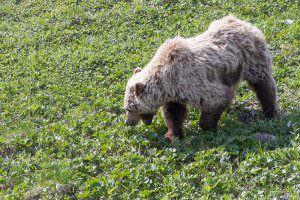 Brown bear grazing