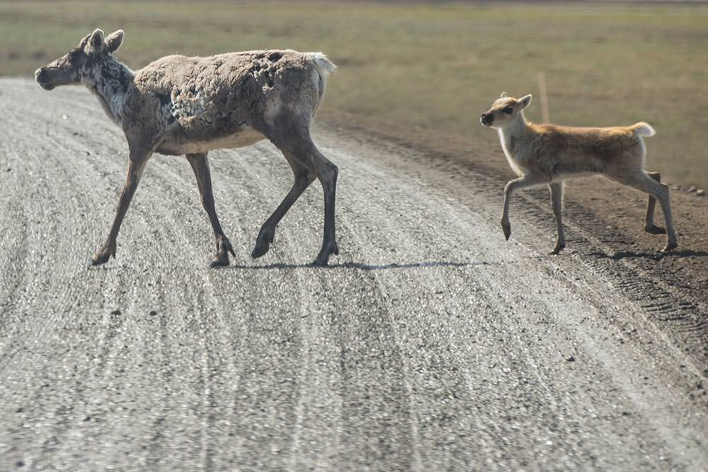 Caribou crossing the road on the North Slope