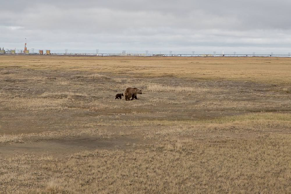 Grizzly and cub in the tundra