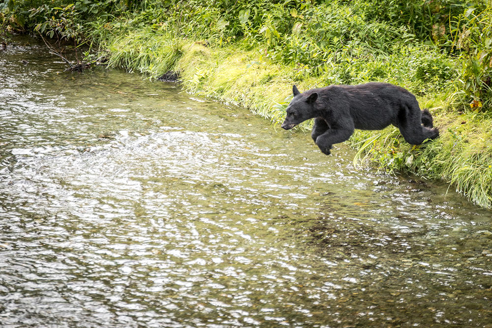 Black bear diving for fish, Hyder, Alaska