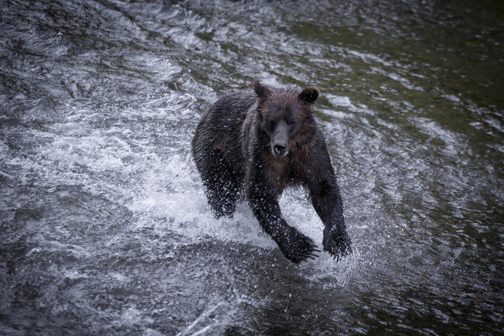 Black bear searching for fish, Hyder, Alaska