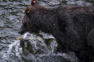 Black bear with fish, Hyder, Alaska