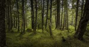 Haines forest