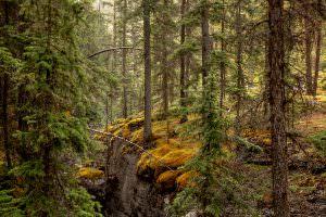 Forest, Jasper, Canada