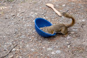 Squirrel cleaning dishes