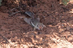 White tailed antelope ground squirrel