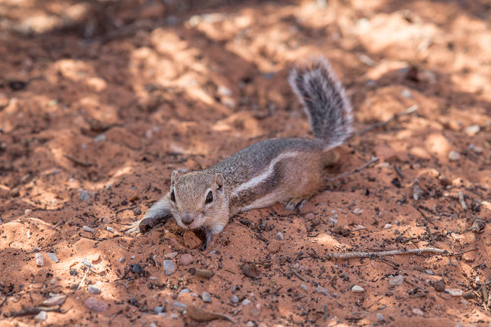 White tailed antelope ground squirrel