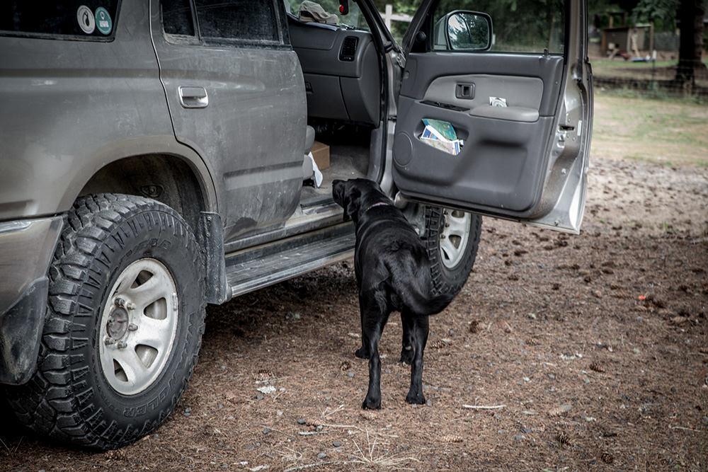 Dog thievery