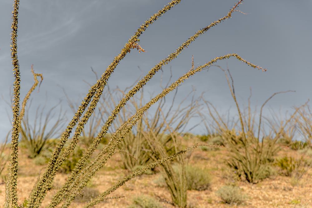 Baja foliage