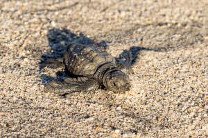 Cute little baby turtle.