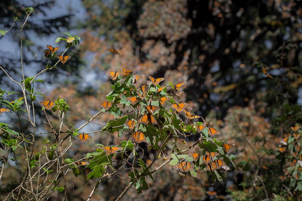 Yes. Every bit of orange on those trees is butterfly.
