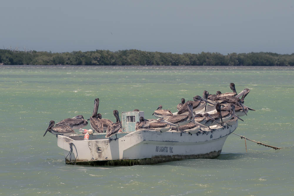 An actual boat load of pelicans.